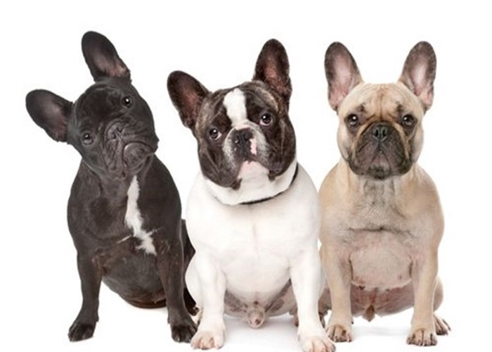 olx quanto custa royal canin tatuagem