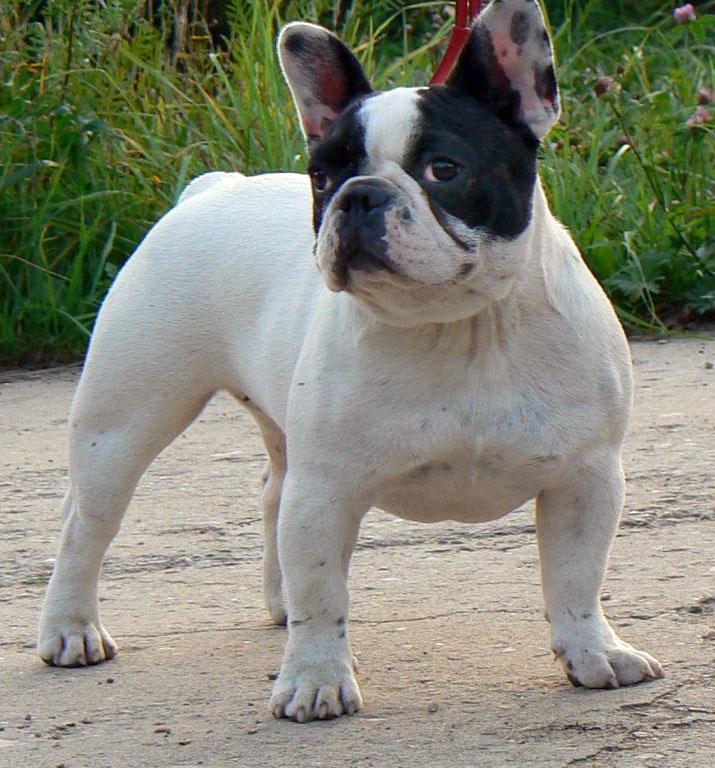 nomes fêmea pitbull american bully boston terrier