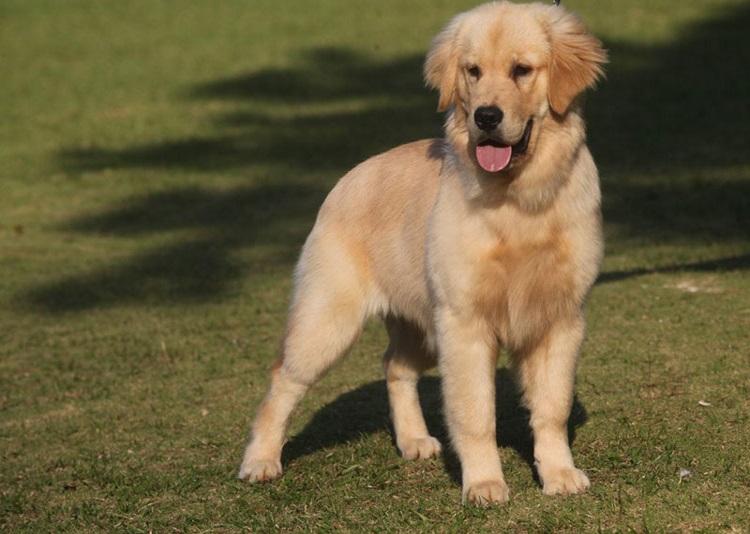 americano adoção poodle pug imagens nomes quanto custa campinas premio solta pelo puppies