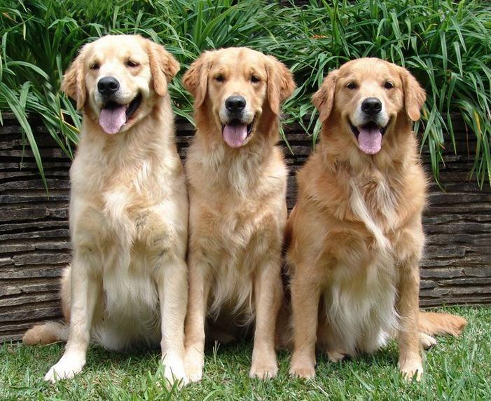 valor labrador husky siberiano beagle quanto custa border collie fotos olx pastor alemão