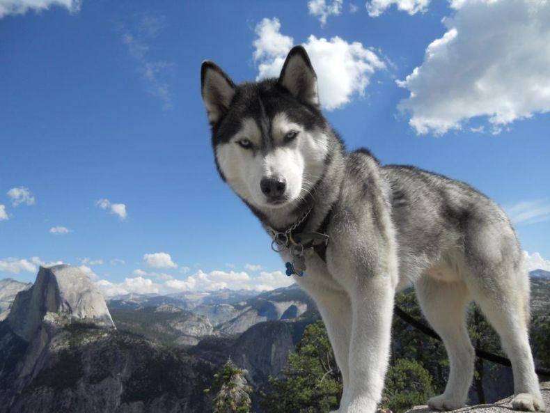 cão preço valor  malamute do alasca golden retriever curitiba fazer fortaleza