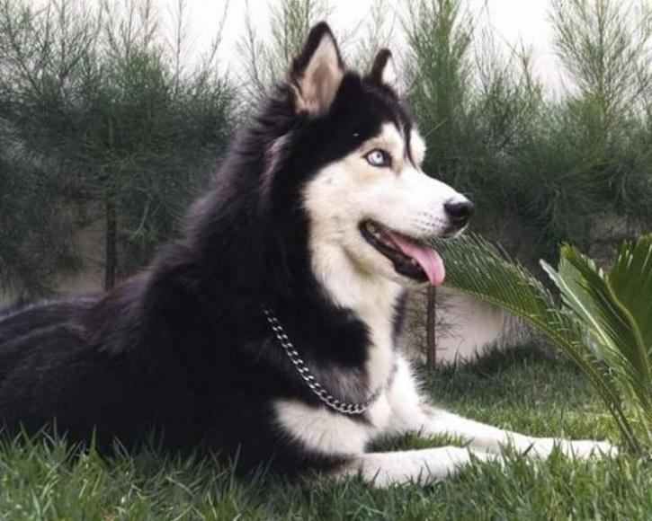akita inu comprar para adotar rottweiler dobermann olx dog pes bh wallpaper