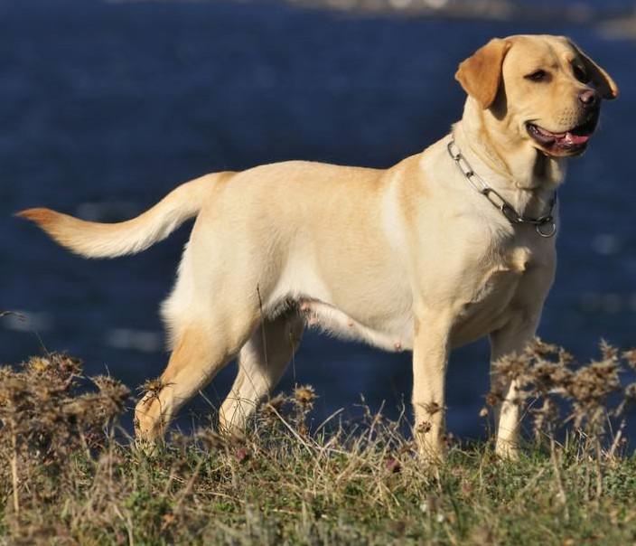 golden retriever pitbull granito verde beagle pastor alemão rottweiler chow chow a venda normal