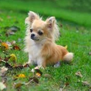 Cachorros Pequenos