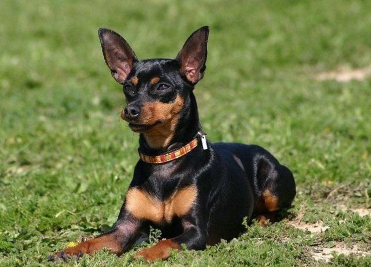 cresce até que tamanho como se escreve nomes chihuahua roupa poodle fox paulistinha mini toy sp