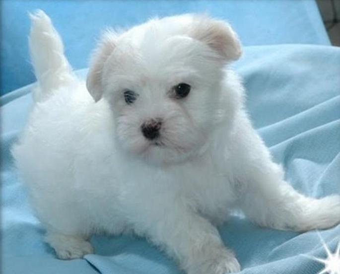 preço tigre west highland white terrier filme rj sobre marrom crescer pet salvador vira lata royal bh dachshund husky siberiano crista chinês