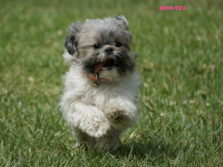 yorkshire puppy cio dente curitiba mix