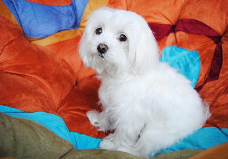 shih tzu yorkshire terrier poodle lhasa apso zwergspitz bichon frisé pequinês chihuahua pug gato cão fazer mancha pequeno cor sp canina