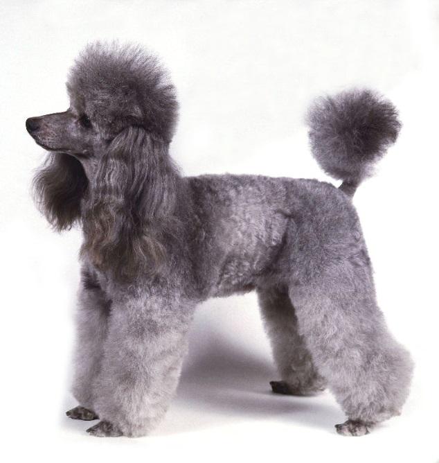 chihuahua yorkshire são paulo cio cadela pato