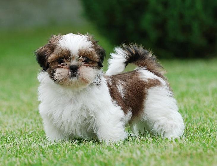 preço nome vira lata maltês lhasa apso yorkshire terrier bebê coco