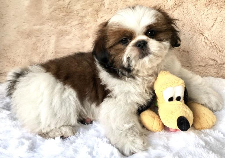 puppy sp canina cio poodle dog royal vacina nascido crescer posso pequeno