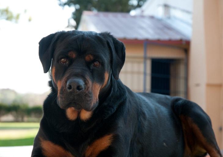 puppies valor vs dogo argentino focinheira ração dog olx casa cio vacina corte pato