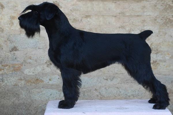 padrão comprar médio shih tzu royal canin cão tattoo terrier black and white sp porto alegre doença png rs