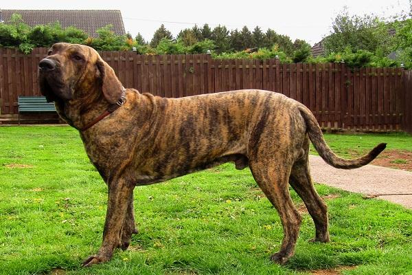 preço tosa venda, terrier olx vira lata valor cães pastor alemão breeders option mesa dog tigre mistura time fazer vs cruz campeonato rj sp
