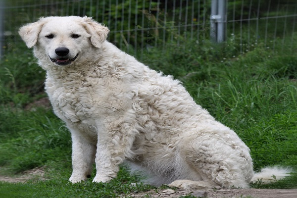 a venda hungarian breeders club of america doação alves ataque belo horizonte carvalho clube prezzo puppies for sale puppy rescue size maremma princesa