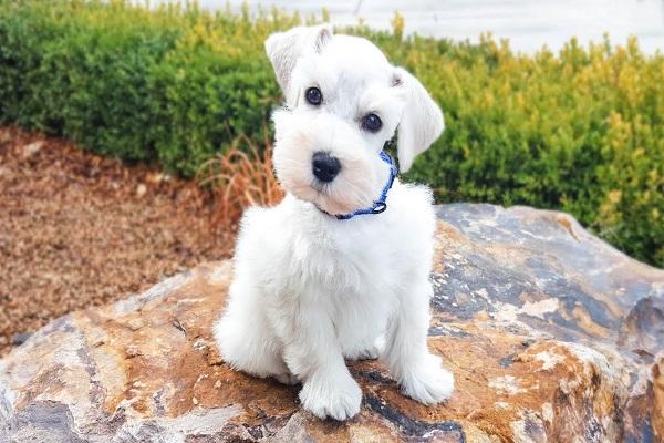 miniature alemão valor tatuagem giant thomas baby sala olx ração é cruz canina video curitiba sobre idade padrão