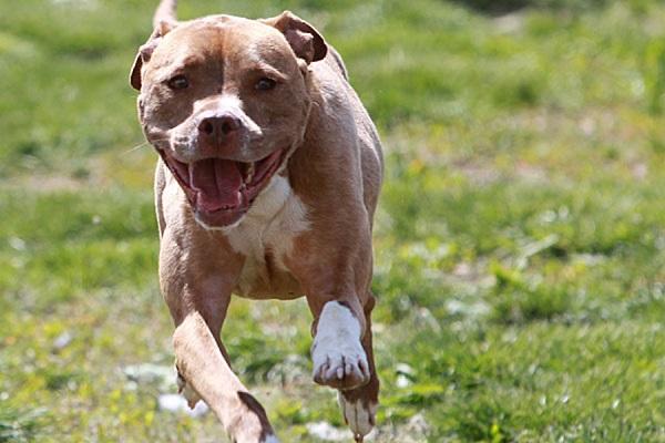 calça jeans fotos american bully cachorras americano regis hulk cantor preço casa mix dia morte puppy cães pastor alemão tipos rinha pirata