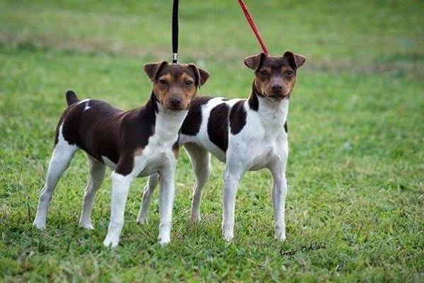 rj com beagle florianópolis cascavél curitiba bh goiânia chaputepek bauru niteroi recife lhasa apso poodle