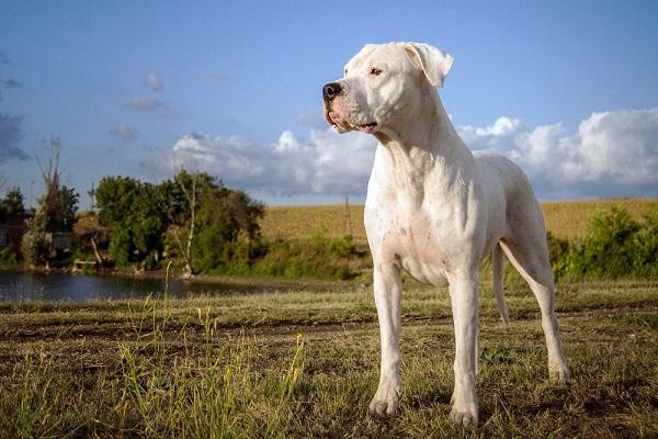 cane corso fila brasileiro pitbull rottweiler dogue alemão red nose porto alegre ataque criar pure tempero hunter nome bulldog perri rj mesa caçada