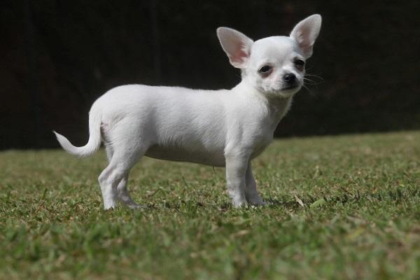 pinscher dachshund curitiba 0 maltês vira lata black são paulo mexicana roupa white breed