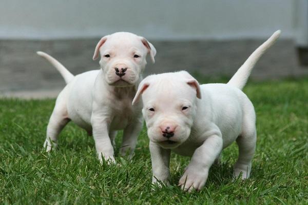 for sale uk health problems origin salvo una niña pastor alemão weight go go dog fight youtube zorro 45 dias albino breeds bh sp homem price