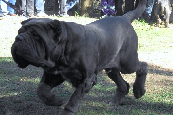 mutts rottweiler nebolish neo sala pitbull vs file x rescue box cão rede brindle apex dano pes olx franca whiter colorir statue photos rs