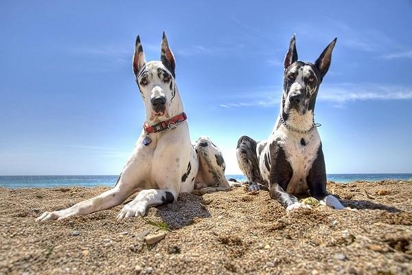 zeus labrador Retriever pitbull dálmata mantado brasileiro golden retriever pedigree bh sc rj família 6 meses goiânia mesa cruz