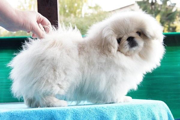 chow chow pug chihuahua olx shar pei yorkshire terrier cadela cinza mercado livre porto alegre tempo bulldog colorir rs 2 dia