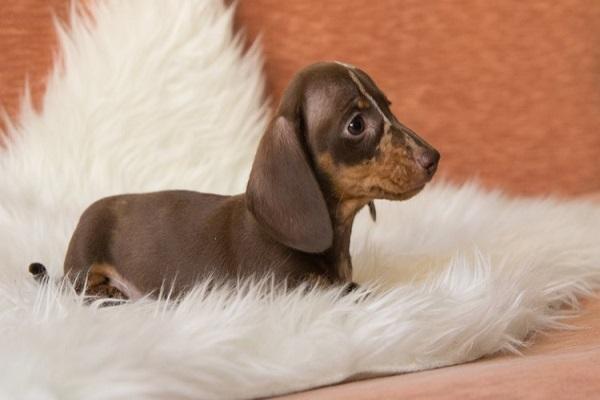 bom pato amigurumi mal chama fofo gorda poodle adotar cuidados adulto peluda mulher sp mesa dog puppies pug royal canin standard camiseta golden retriever molde cadeira de rodas rio de janeiro cães semelhantes