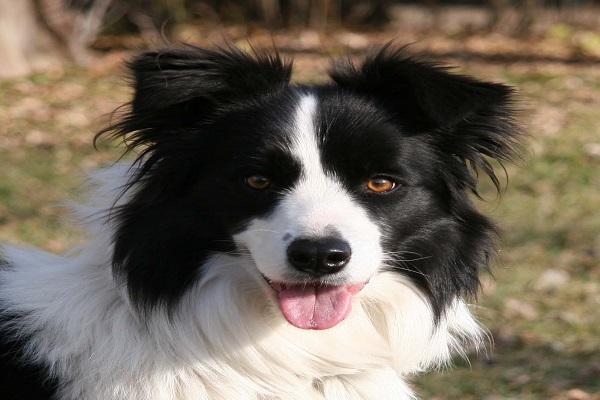 labrador médio burriler 4 meses beagle características mistura mix pode dog machado pure rio de janeiro