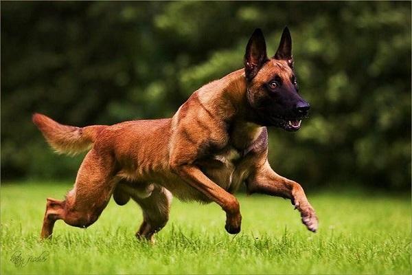 dobermann rj 1 negro olx rs adoção para dar png vs bh grande rottweiler pode ataque dia dog es mg são paulo valor ataque aleman curitiba saltando santa catarina medidas padrão
