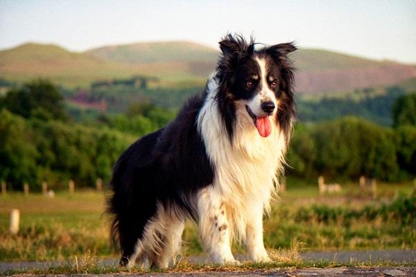 canil comprar quanto custa um lilac tipos doação olx puppy 4 são paulo cadela ideal mg parece tempo dar