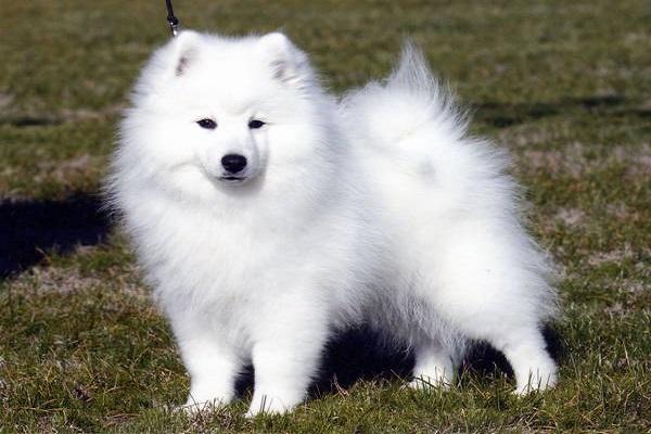 criador interior são paulo canadense entre dog eurasier hokkaido husky jindo-coreano lulu da pomerânia olx preço valor akc campinas continental shiro