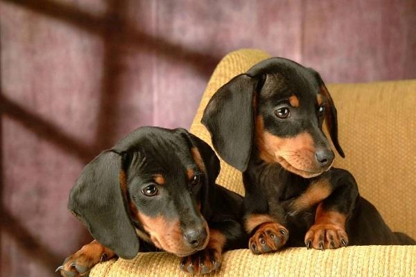 preço mix valor puppies venda alecrim comprar belo horizonte vira lata porque beagle tatuagens velho artigo standard bh sala