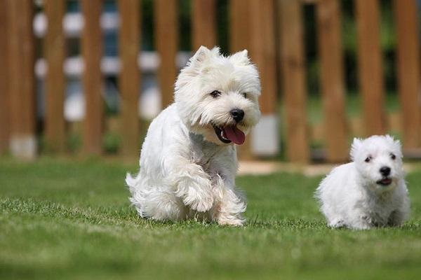 canina mercado livre livro olx santa catarina cão maltês comprar yorkshire pies rj where to buy christmas cards drawing pedigree vector how much puppy rio de janeiro