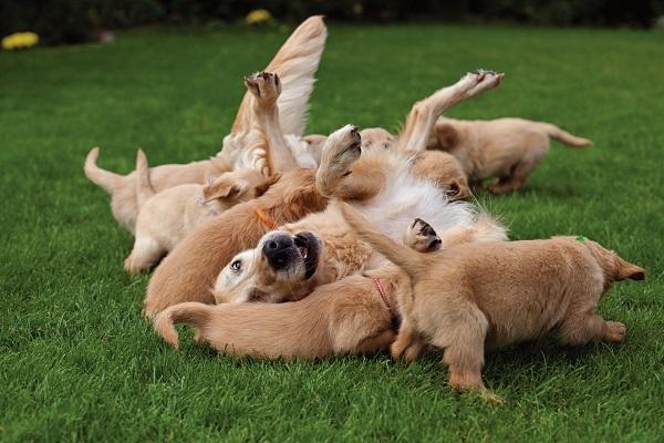 poodle labrador maltes demora nascido leva uma meses inicial malta fazer spitz alemão porto alegre