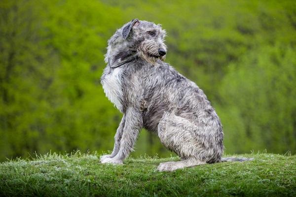 hovawart italiano malamute old olx english deerhound galgo afegão dogue alemão borzoi características florianópolis