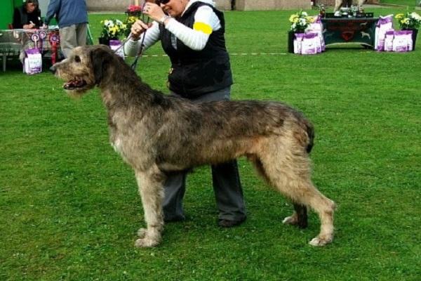 schipperke sheepdog spaniel spring italiano hovawart komondor leonberger mastim nova sette terra terrier whippet