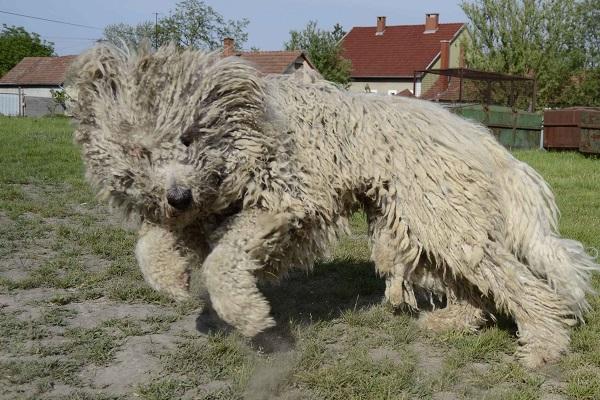 família galgo irlandês landseer leão logística breeders cartoon eladó negro olx pelo shed size vs züchter leonberger maremano perro 5 grupo