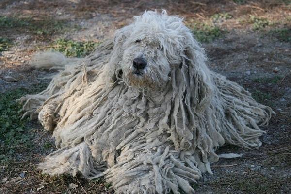 sheepdog negra puma shipperke lébrel mark atman boombeach youtube é de onde grande cane canino lavar como nasce pula participação gif afegão