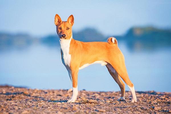 uivando americana basset costa cruz feat female akita beagle club dog uk price howl images lab photos whippet yodeling sp olx shiba inu black and tan care dawn egypt yodel youtube cães