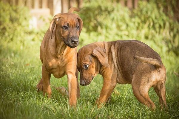 guia hunter ladrão ducha educação bulldog francês cão ck crista eriçando dorso são paulo john dona