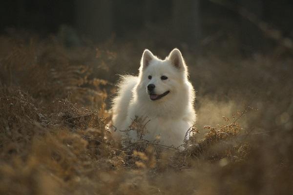 belo horizonte calor olho azul pastor australiano preço valor chow chow akita inu husky siberiano povo cães