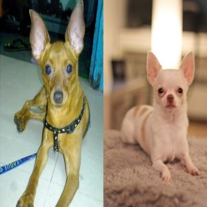 Diferencas entre Pinscher e Chihuahua