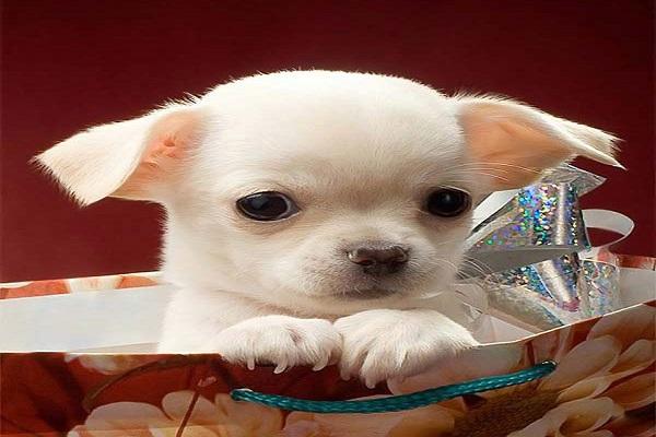 chihuahua filhote que cabe na bolsa