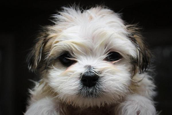 comprar preço quanto custa puppies