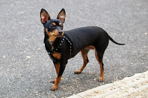 pinscher preto miniatura passeio