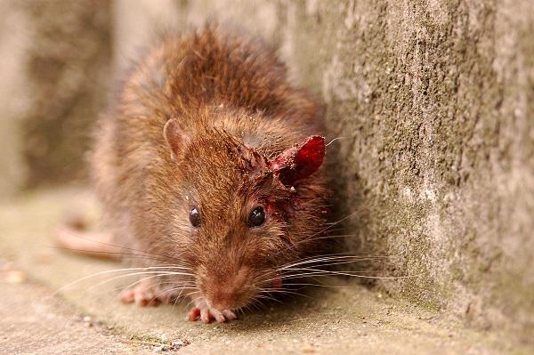Rato que transmite a doença aos cães