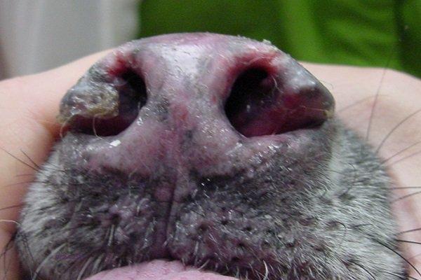 câncer e problemas no nariz de cachorro