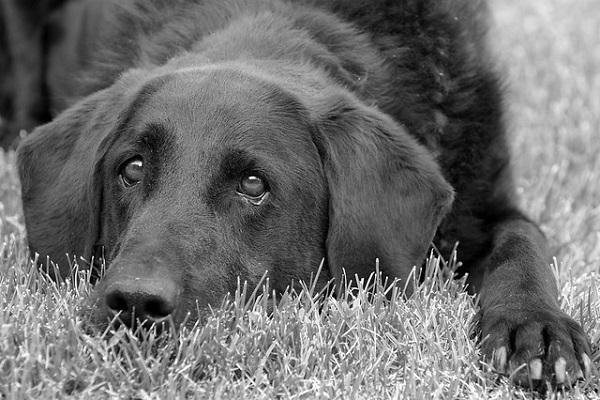 cão triste e abatido em preto e branco